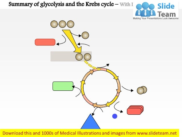 Summary of glycolysis and the krebs cycle medical images for power po…