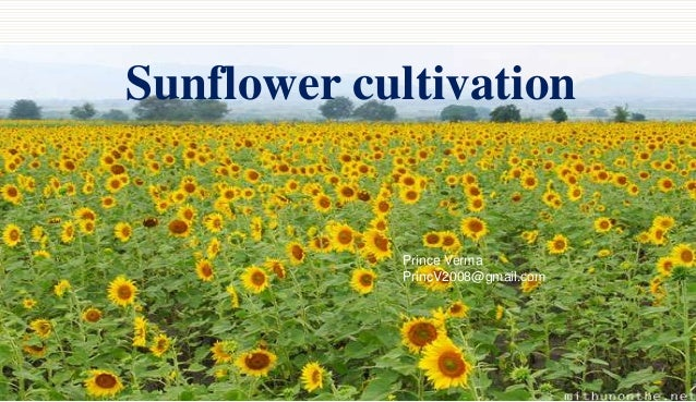 Sunflower cultivation  Prince Verma PrincV2008@gmail.com