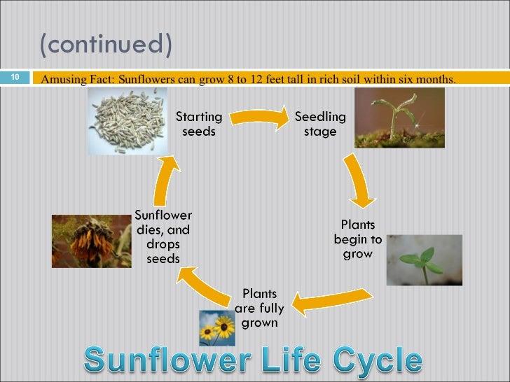 where do sunflowers grow