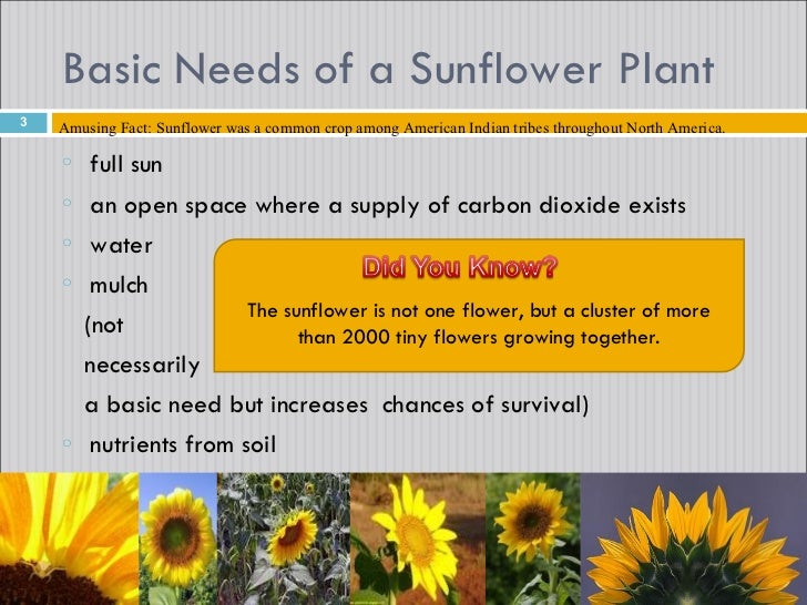 Sunflowers on Needs And Characteristics Of Living Things 1