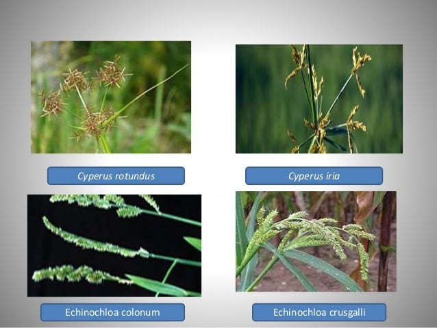 important weed flora and weed management strategies in upland rice
