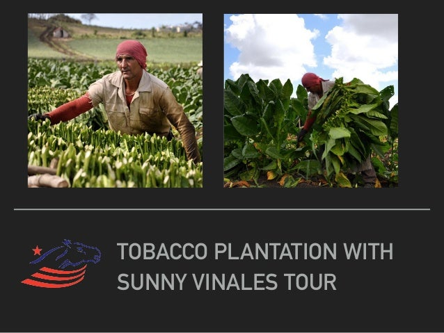 TOBACCO PLANTATION WITH SUNNY VINALES TOUR