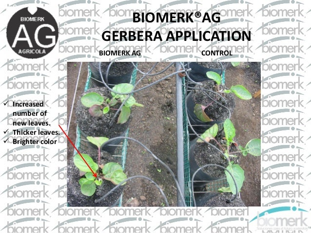 BIOMERK®AG GERBERA APPLICATION CONTROL  Increased number of new leaves.  Thicker leaves.  Brighter color BIOMERK AG