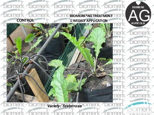 Применение Триходермы Бленд. Исследования выращивания роз и маргариток в Колумбии Slide 2