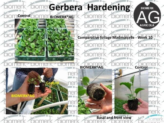 Применение Триходермы Бленд. Исследования выращивания роз и маргариток в Колумбии Slide 3