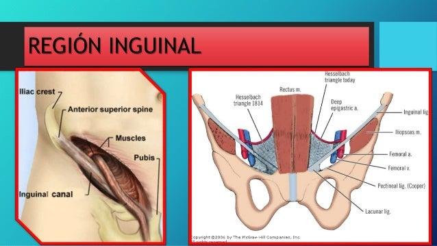 Superficie interna de la pared anterolateral del abdomen y región ing…