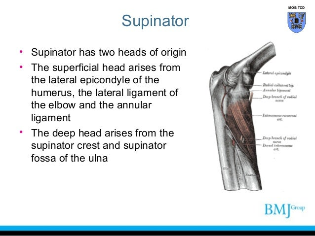 Anatomy of Superior and inferior radioulnar joint