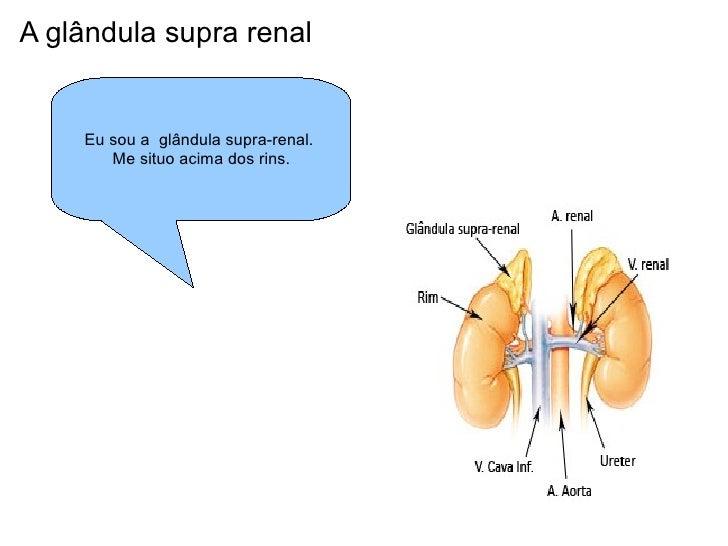A glândula supra renal Eu sou a  glândula supra-renal.  Me situo acima dos rins.