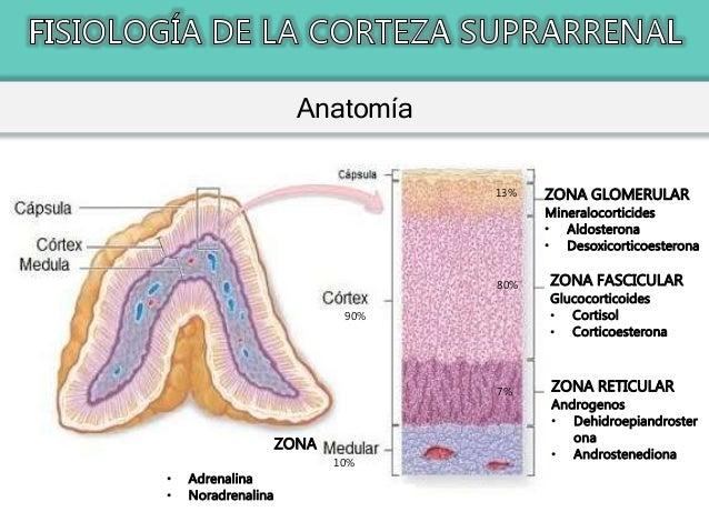 Fisiología de la Glándula Suprarrenal - Corteza