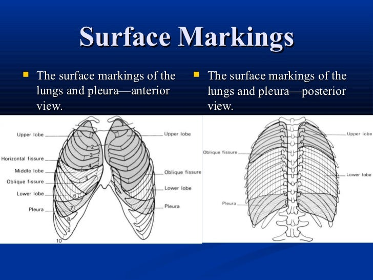 Lung Fissure Surface Anatomy Choice Image Human Body Anatomy