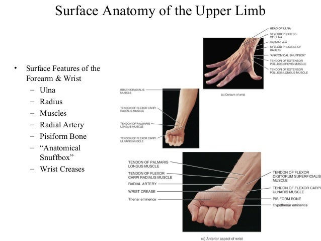 Surface Anatomy And Surface Markings Of The Upper Limb Best Best ...