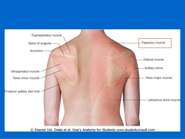Back Surface Anatomy Diagram Block And Schematic Diagrams
