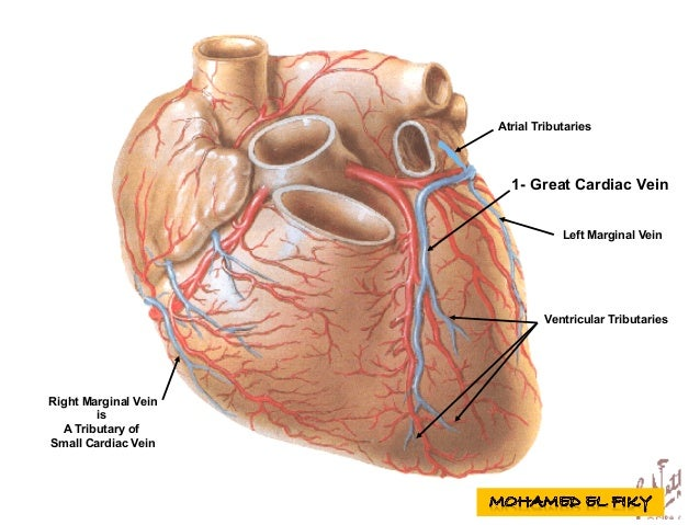 Surface anatomy of heart and lungs