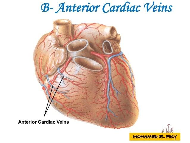 Anterior Cardiac Veins B- Anterior Cardiac Veins