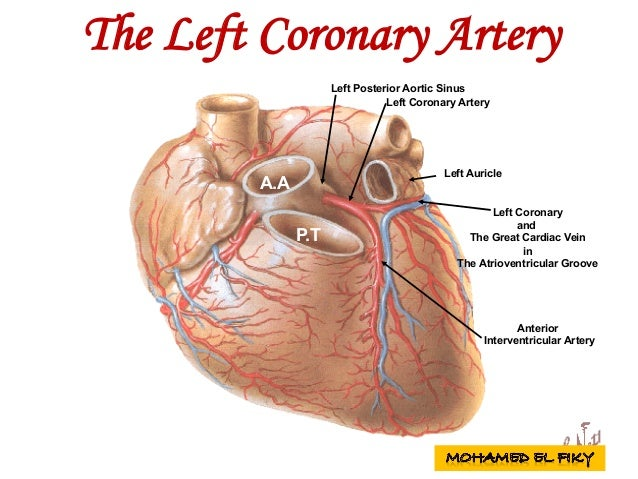 Left Posterior Aortic Sinus P.T Left Auricle Left Coronary Artery Left Coronary and The Great Cardiac Vein in The Atrioven...
