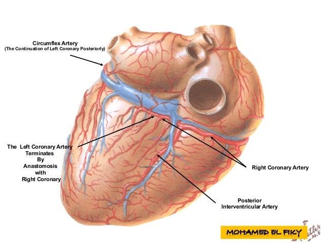 Circumflex Artery (The Continuation of Left Coronary Posteriorly) Right Coronary Artery The Left Coronary Artery Terminate...