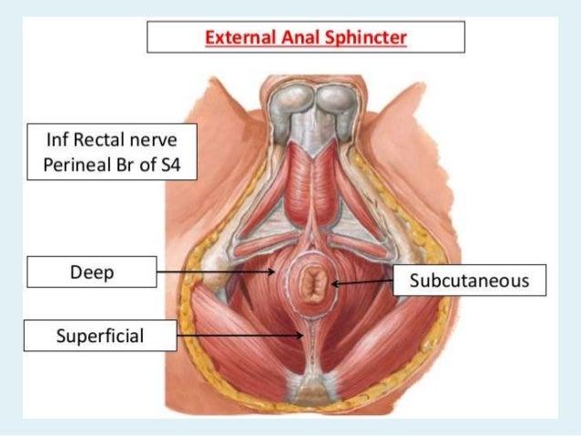 Antomy of the anus