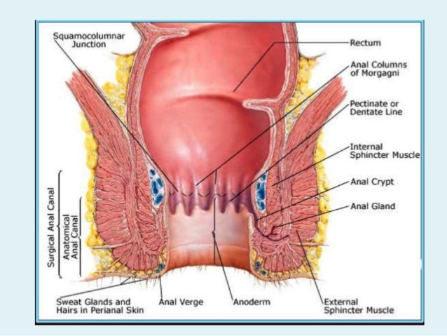 Surgical Anatomy Anal Canal