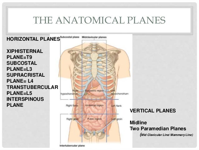 Surgical anatomy of abdomen 4 the anatomical ccuart Images