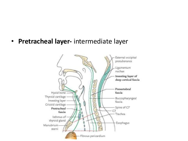 Anatomy of neck spaces
