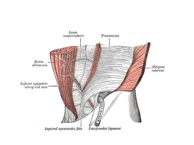 surgical anatomy of inguinal hernia, Human Body