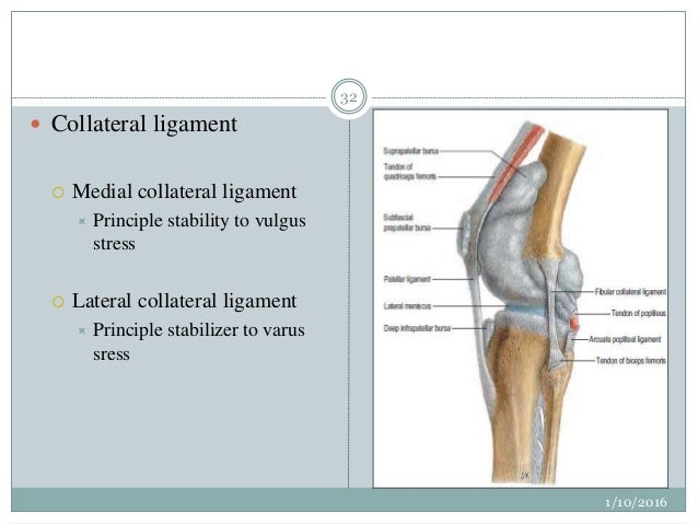 Surgical anatomy of knee joint absent anteriorly posteriorly reinforced by oblique popliteal ligament 32 ccuart Gallery