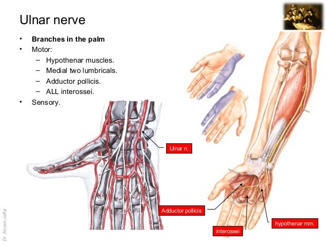 Surgical Anatomy Of Nerve And Vascular Injuries In The Upper Limb
