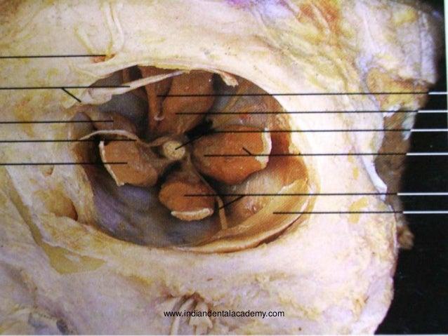 Surgical anatomy of orbit
