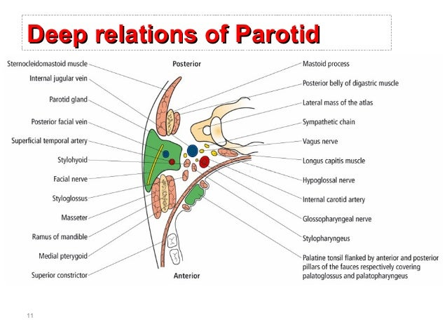 Anatomy of the parotid gland