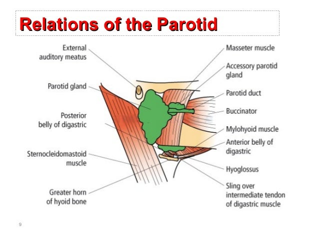 surgical anatomy of salivary glands, Skeleton
