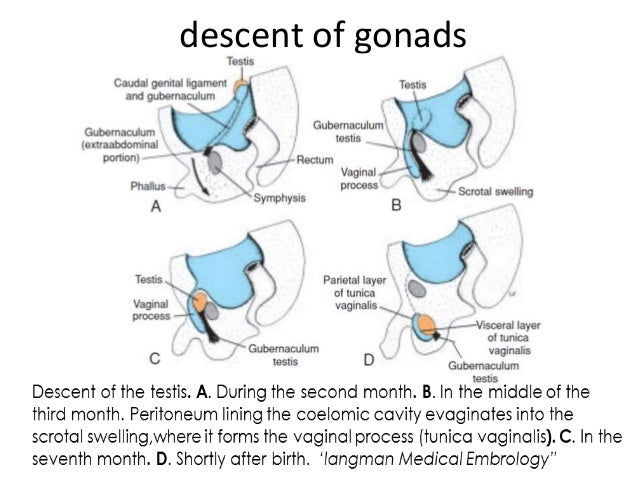 Vaginal canal anatomy