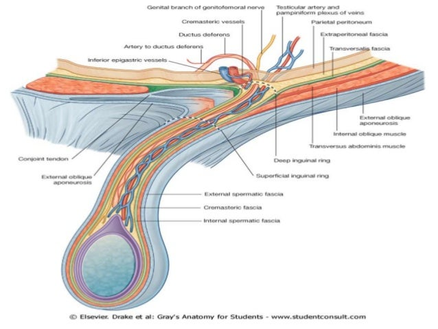 Surgical Anatomy Of The Inguinal Canal