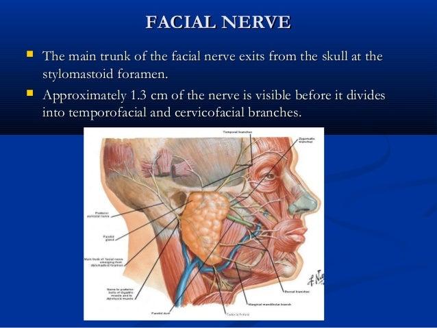 Swine Facial Nerve Branches Diagram - Block And Schematic Diagrams •