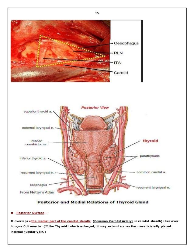 Surgical Anatomy Of Thyroid And Parathyroid Glands Hazem El Folldocx