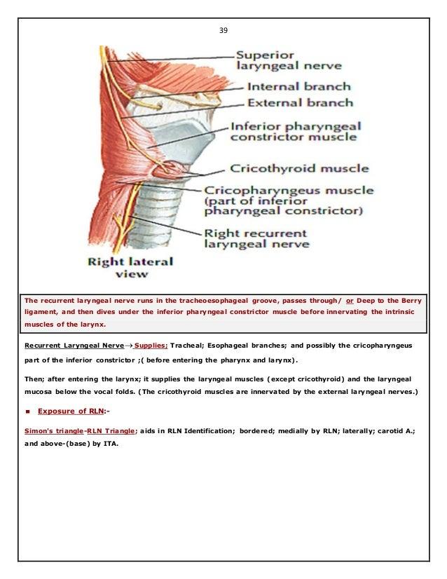 Dorable Anatomy Of Recurrent Laryngeal Nerve Vignette - Human ...