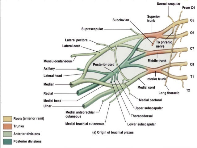 Surgical anatomy of upper limb nerves and plexus