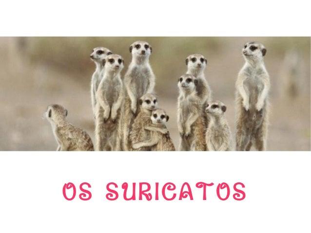 OS SURICATOS