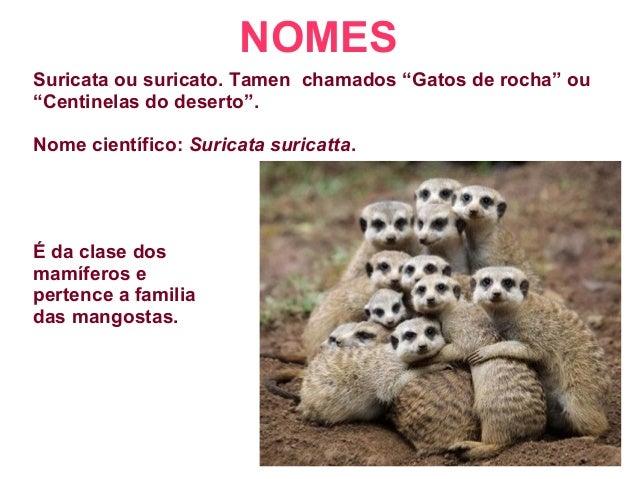 """NOMES Suricata ou suricato. Tamen chamados """"Gatos de rocha"""" ou """"Centinelas do deserto"""". Nome científico: Suricata suricatt..."""