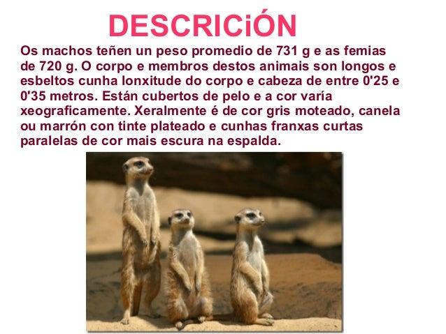 DESCRICiÓN Os machos teñen un peso promedio de 731 g e as femias de 720 g. O corpo e membros destos animais son longos e e...