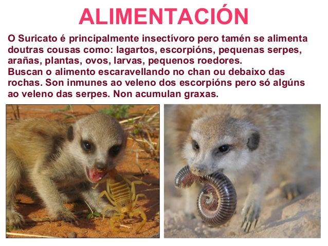 ALIMENTACIÓN O Suricato é principalmente insectívoro pero tamén se alimenta doutras cousas como: lagartos, escorpións, peq...
