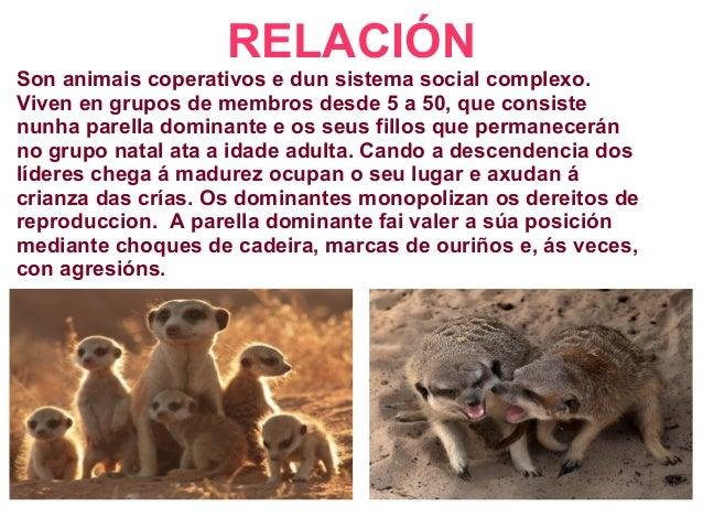 RELACIÓN Son animais coperativos e dun sistema social complexo. Viven en grupos de membros desde 5 a 50, que consiste nunh...