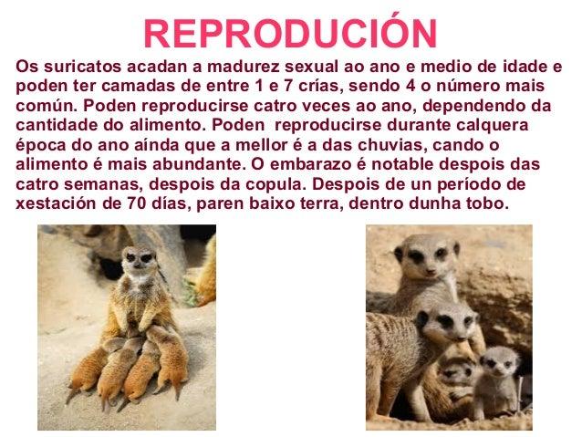 REPRODUCIÓN Os suricatos acadan a madurez sexual ao ano e medio de idade e poden ter camadas de entre 1 e 7 crías, sendo 4...