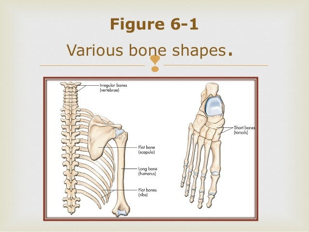 Survey of Anatomy and Physiology Chapter 6