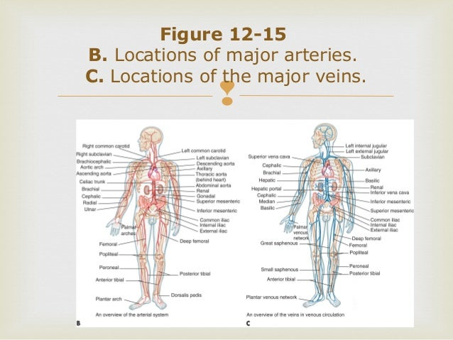Survey of Anatomy and Physiology Chap 12 Part One