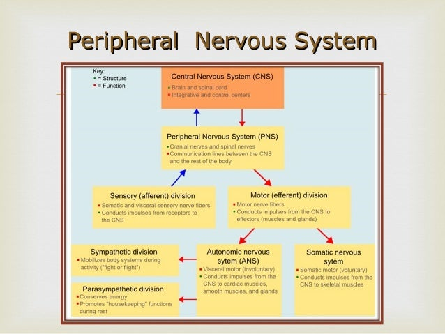 Motor Division Of The Peripheral Nervous System ... | 638 x 479 jpeg 77kB