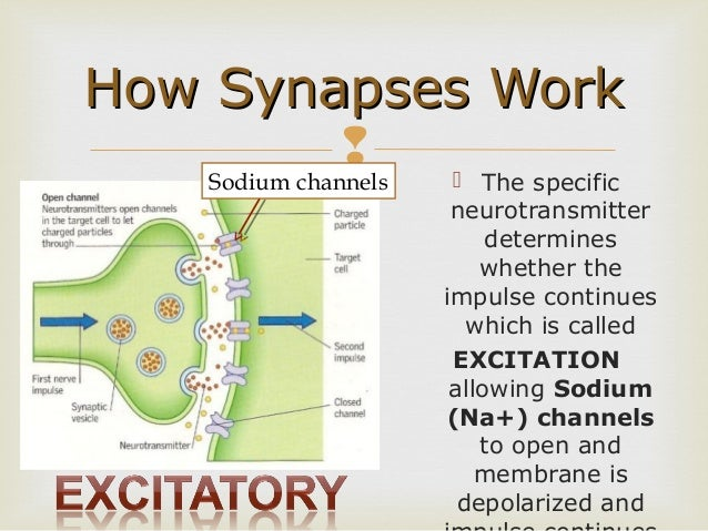 Survey of anatomy and physiology chap 9 part two each neurotransmitter has a specific receptor 36 how synapses work ccuart Image collections