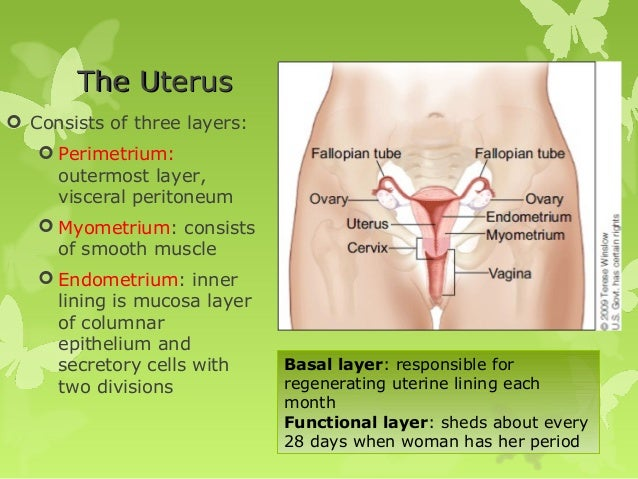 Survey of anatomy and physiology chapter 17 19 the uterus sciox Images