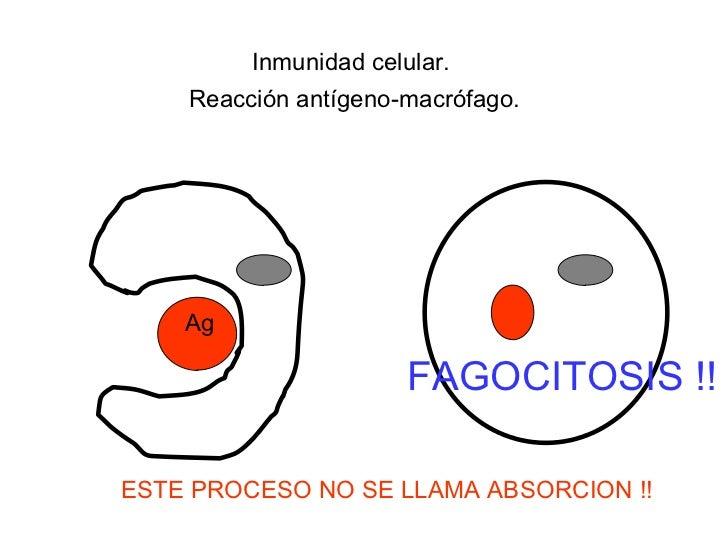 Inmunidad celular. Reacción antígeno-macrófago. Ag ESTE PROCESO NO SE LLAMA ABSORCION !! FAGOCITOSIS !!
