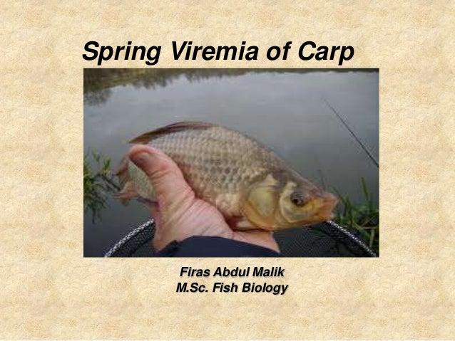Spring Viremia of Carp       Firas Abdul Malik       M.Sc. Fish Biology