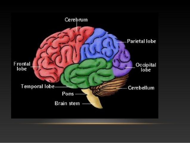 • Glavni ogranci karotidnih arterija su prednja cerebralna arterija i središnja cerebralna arterija, dok su glavni ogranci...